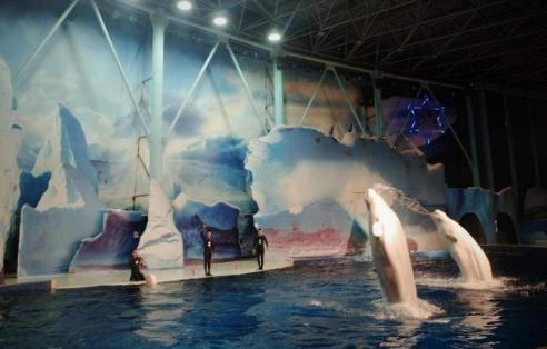 """上海长风海洋世界的白鲸将""""回家""""图片"""